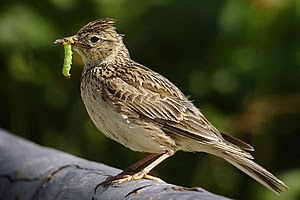 Skylark (Alauda arvensis) with a caterpillar.