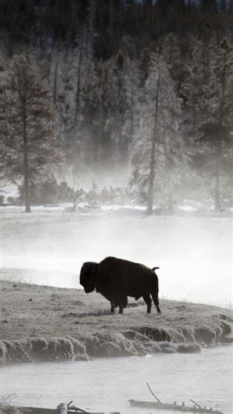 lonely wyoming yellowstone bison wallpaper