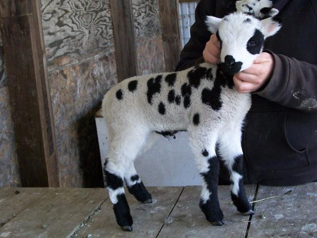 Jacob Sheep Lamb