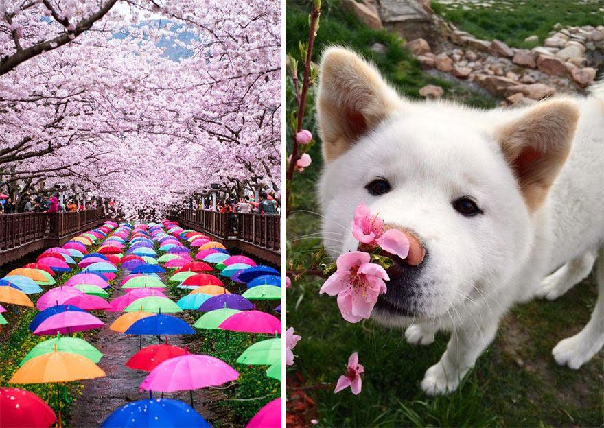primavera-flores-cerezo-sakura-japon-national-geographic (14)
