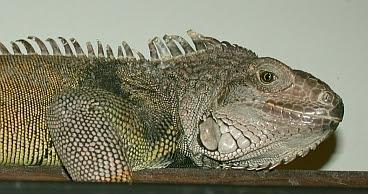 photo of pet green iguana