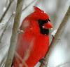 Cardinal 2