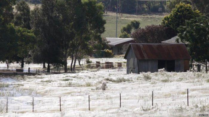 toiles d'araignée, image araignée toiles, des phénomènes étonnants: toile d'araignée couvrant des domaines, des toiles d'araignée couvrant des domaines, des toiles d'araignée sur les champs, les toiles d'araignées couvrent les champs après les inondations, araignée photo web, champs de sites Web (champs de Non)