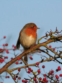 Robin at Dunstable Wetland Reserve