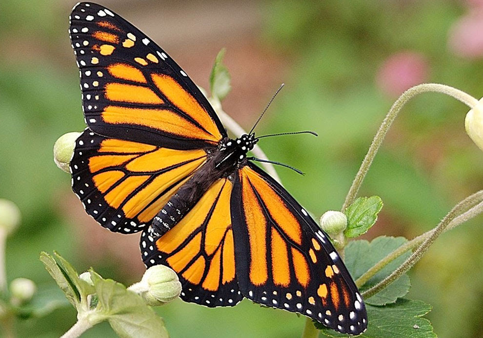 Minnesota Secretary Of State - State Butterfly - Monarch