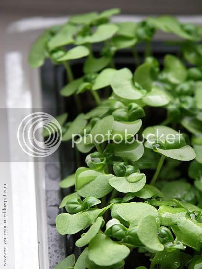 bazylia wspaniałe zioło