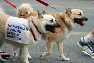 Norwegian Buhunds