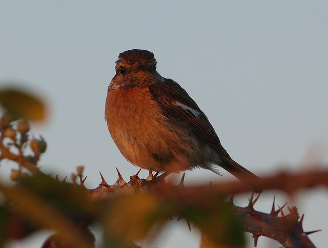 27611 - Stonechat at Sunset, Gower