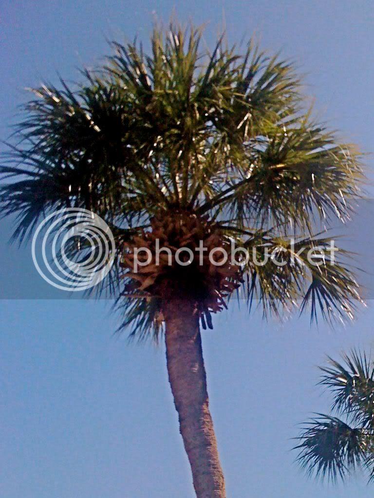 Sanibel palm