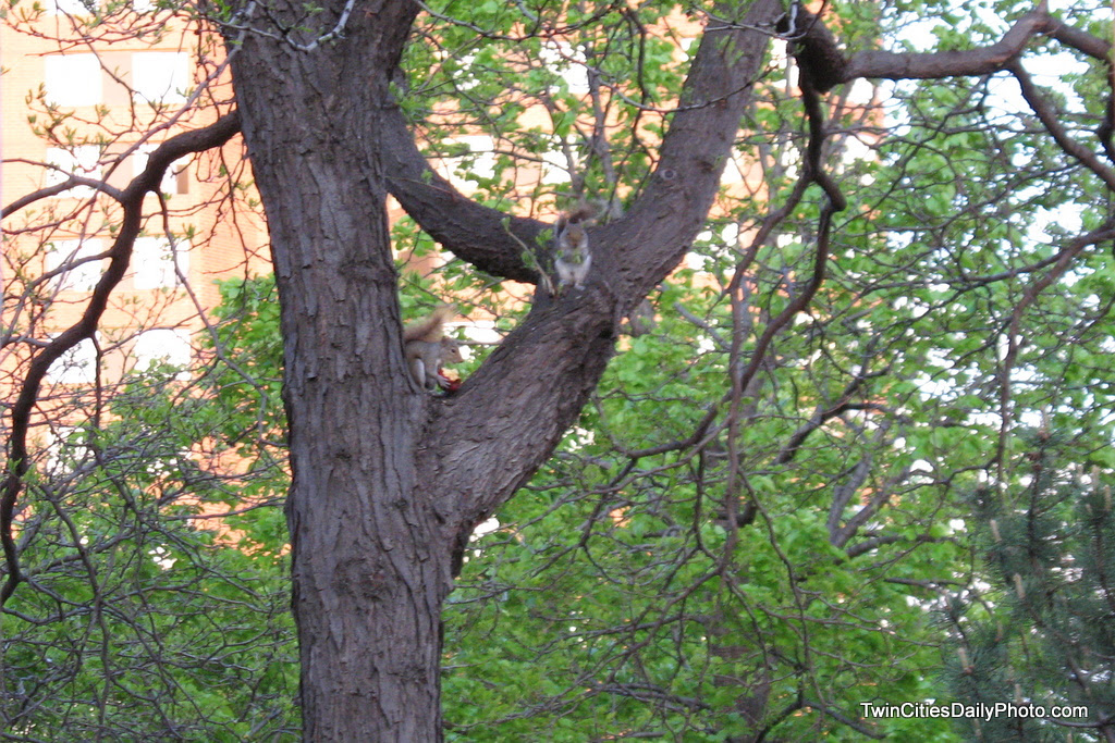 As I was walking around downtown Minneapolis, I spotted two squirrels running and chasing each other. One of the squirrels and a big red apple in it's mouth as it ran.