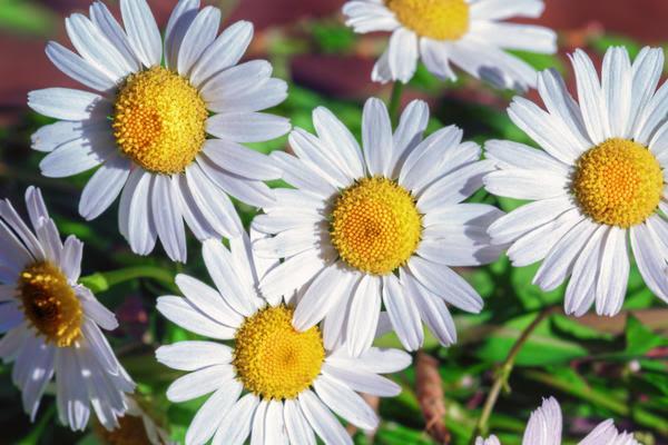 Нивяники — белое и желтое