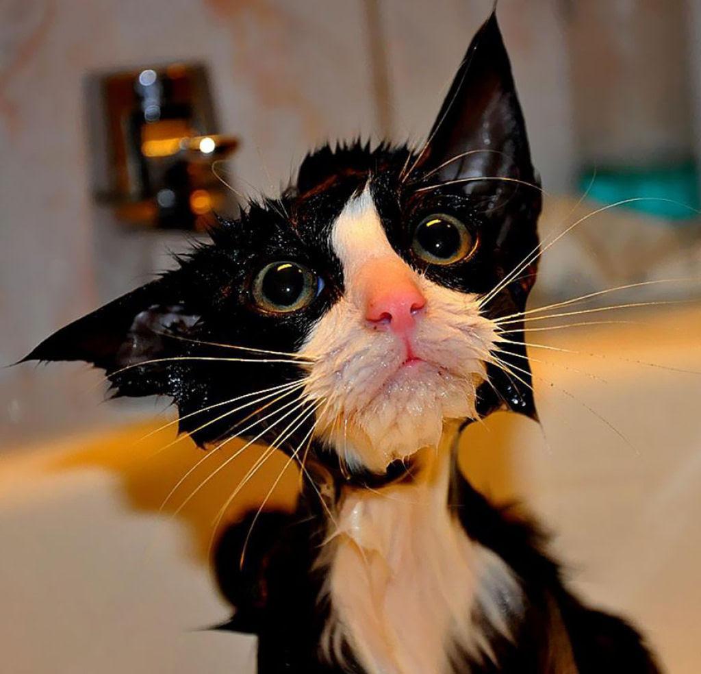 Fotografias engraçadas de gatos tomando banho 02