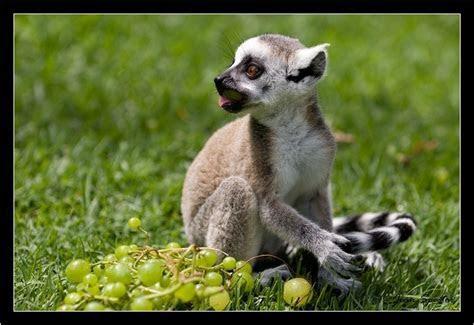 Lemur   Animal Wildlife
