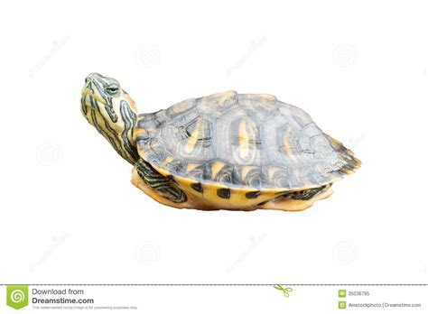 Red Eared Slider Turtle On White Background Royalty Free Stock Photo   Image: 35036795