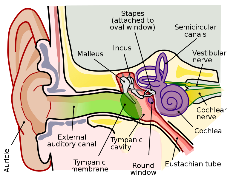 How does the Human Ear Work