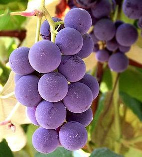 Google Image Result for http://www.terpconnect.umd.edu/~aboadu/Images/purple%2520grapes.jpg