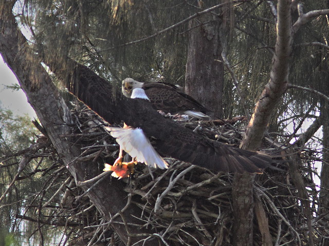 Bald Eagle male returns with fish 20140205