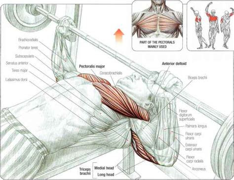 muscles involved   bench   powerlifting