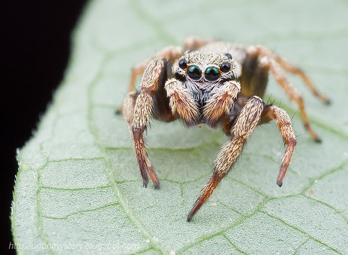 Cute little jumping spider.........IMG_2268 copy