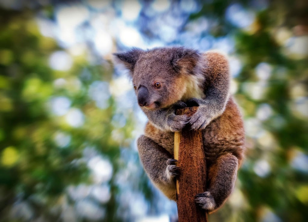 Koala Wallpapers Wallpapers High Quality   Download Free