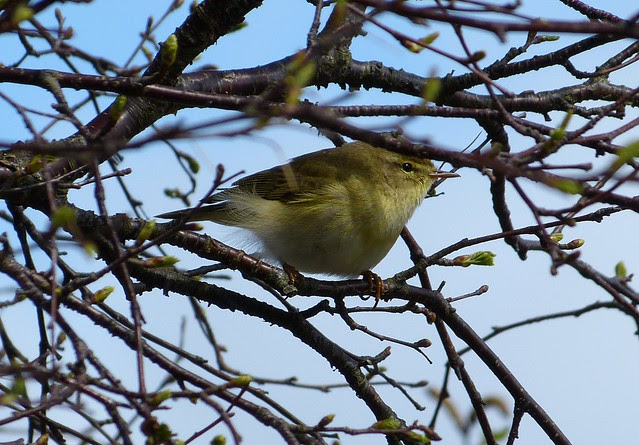 27146 - Willow Warbler, Isle of Mull