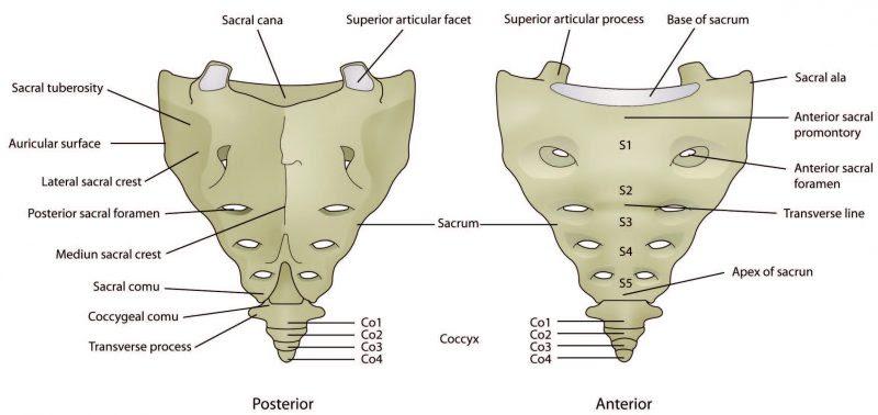 Structure of the Sacrum Diagram - El Paso Chiropractor