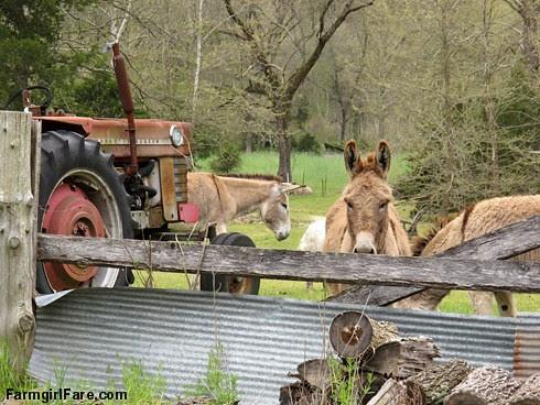 (25-4) Donkey staredown - FarmgirlFare.com