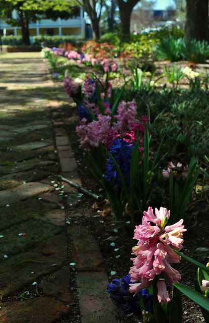 Hyacinth in the Park