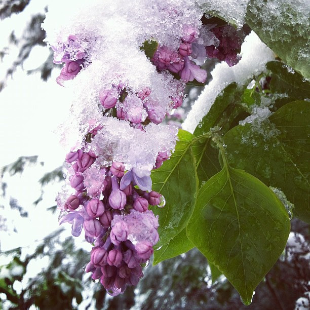 Snowy lilacs. This late storm took us all by surprise.