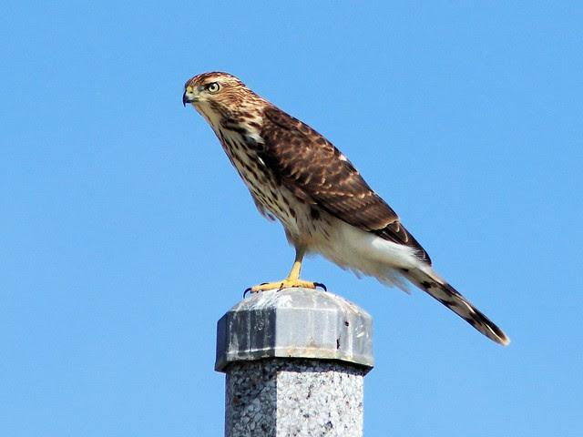Cooper's Hawk 3-20130904