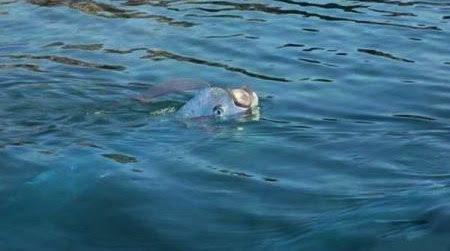 Рыба-ремень на поверхности воды