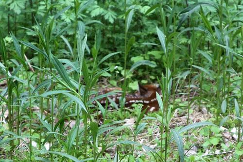 May 14, 2011 Newborn deer (1)