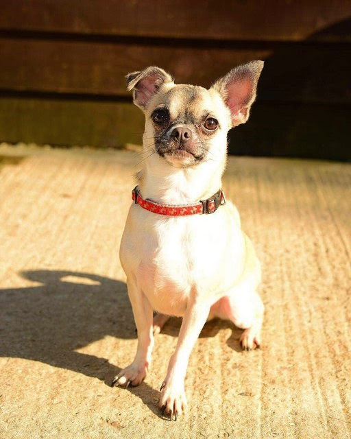 Groot – 18 month old male Chihuahua cross Pug