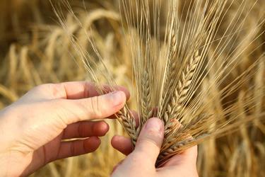 hands holding wheat stalks