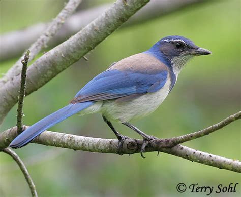 Western Scrub Jay   Information and Photos