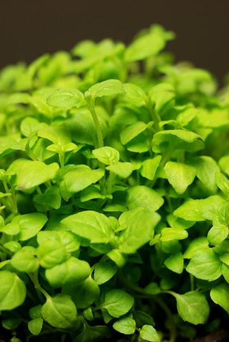micro herbs© by Haalo