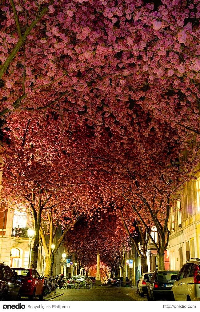 15. Bonn, Almanya'da bulunan kiraz ağaçları çiçek açtığında görsel bir şölen başlar.