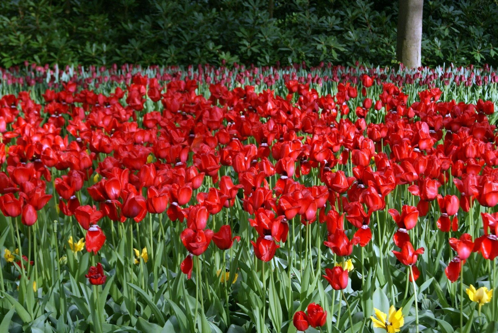 11.2, Beautiful  red tulips