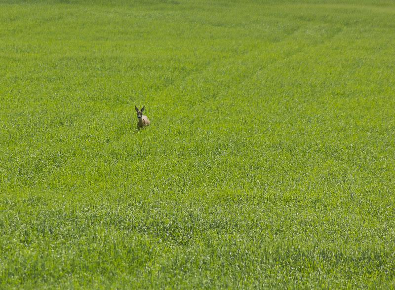 Deer in a green field