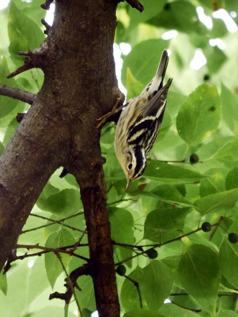 Ed Gaillard: birds &emdash; Black-and-White Warbler, Central Park