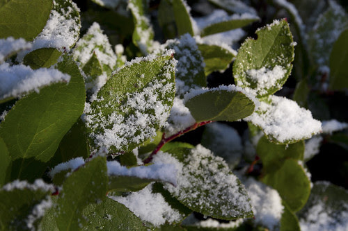 snow on salal