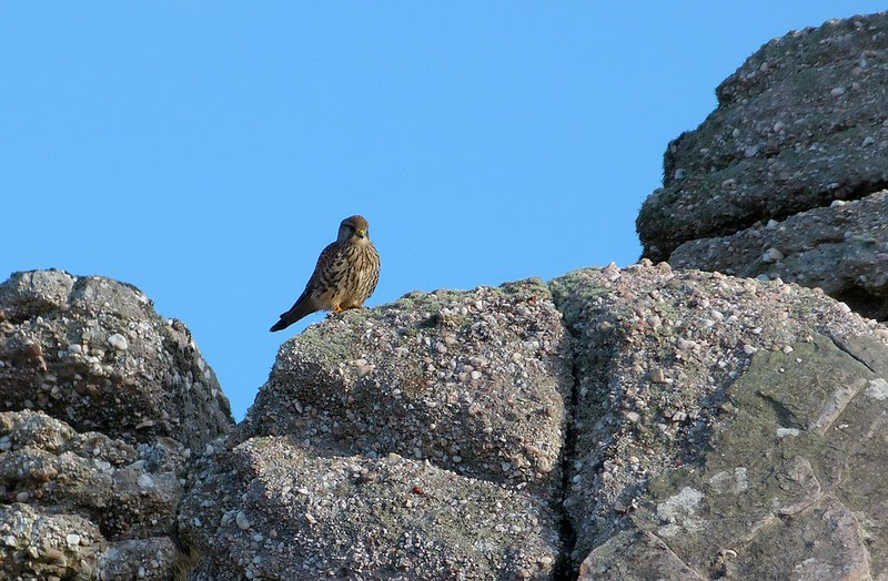 P1060700 - Kestrel, Rhossili Downs