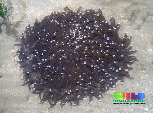 Sunflower mushroom hard coral (Heliofungia actiniformis)