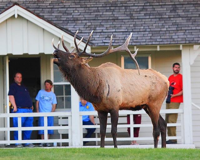 IMG_0035 Bull Elk Bugling, Mammoth Hot Springs