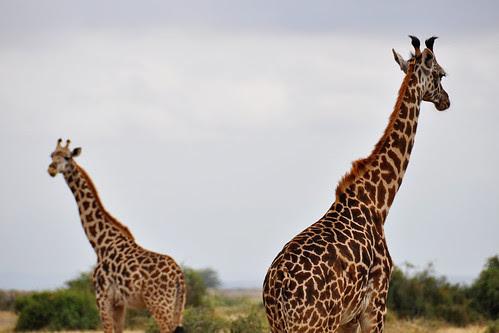 PairofGiraffes