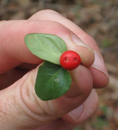 Partridgeberry3