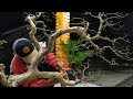 Pembentukan, Perawatan dan Pruning Bonsai Dewandaru (Sianto) | Ceremai (Eugenia uniflora)