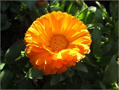 Calendula in the morning sun
