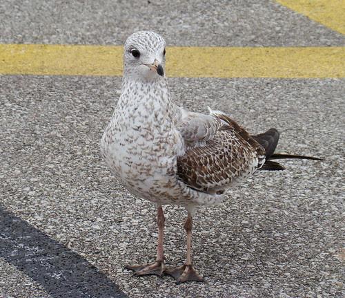 parking lot camo gull