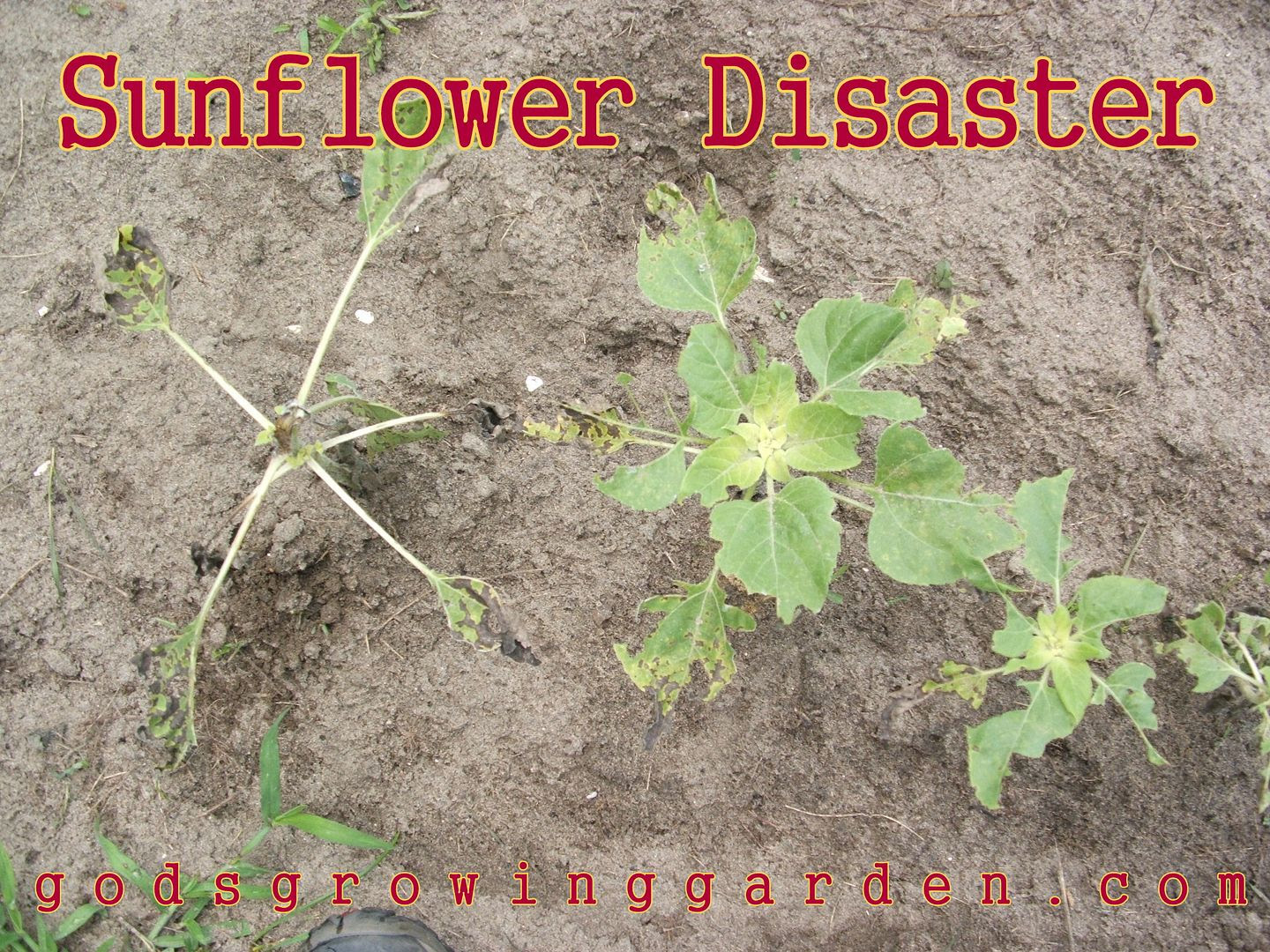 Sunflower Disaster by Angie Ouellette-Tower for godsgrowinggarden.com photo 014_zps1cfadcc3.jpg